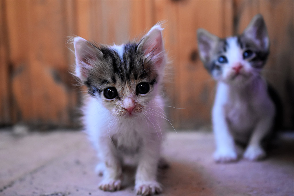 kitten-capers_04