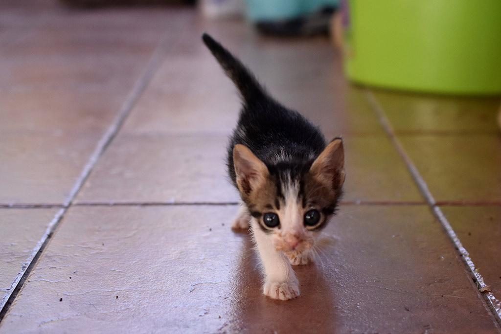kitten-capers_05