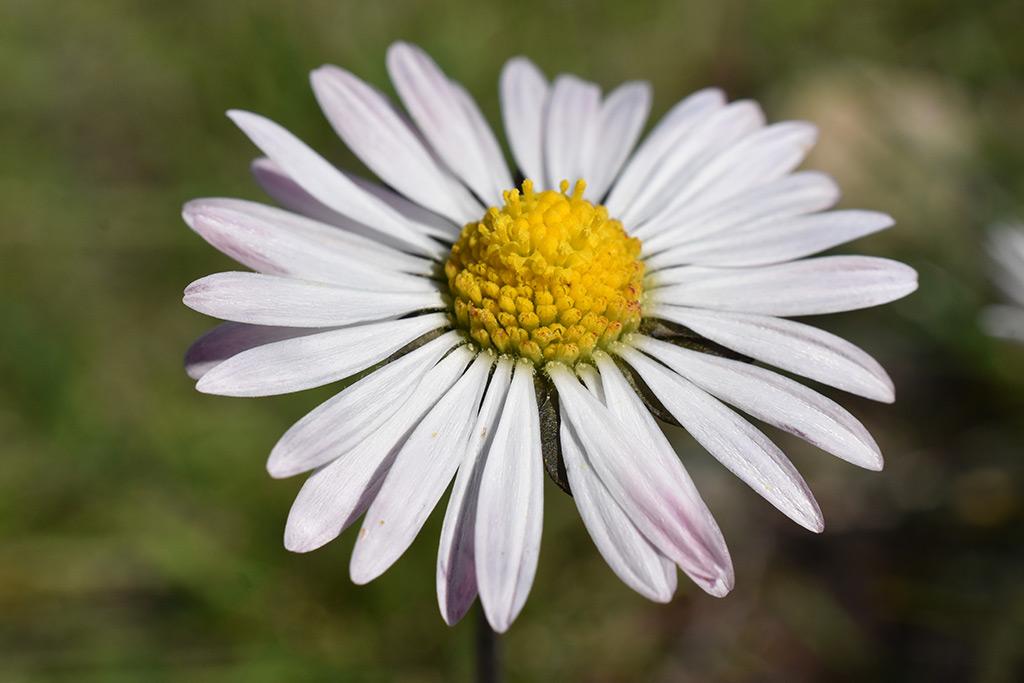 droushia-blossom_04