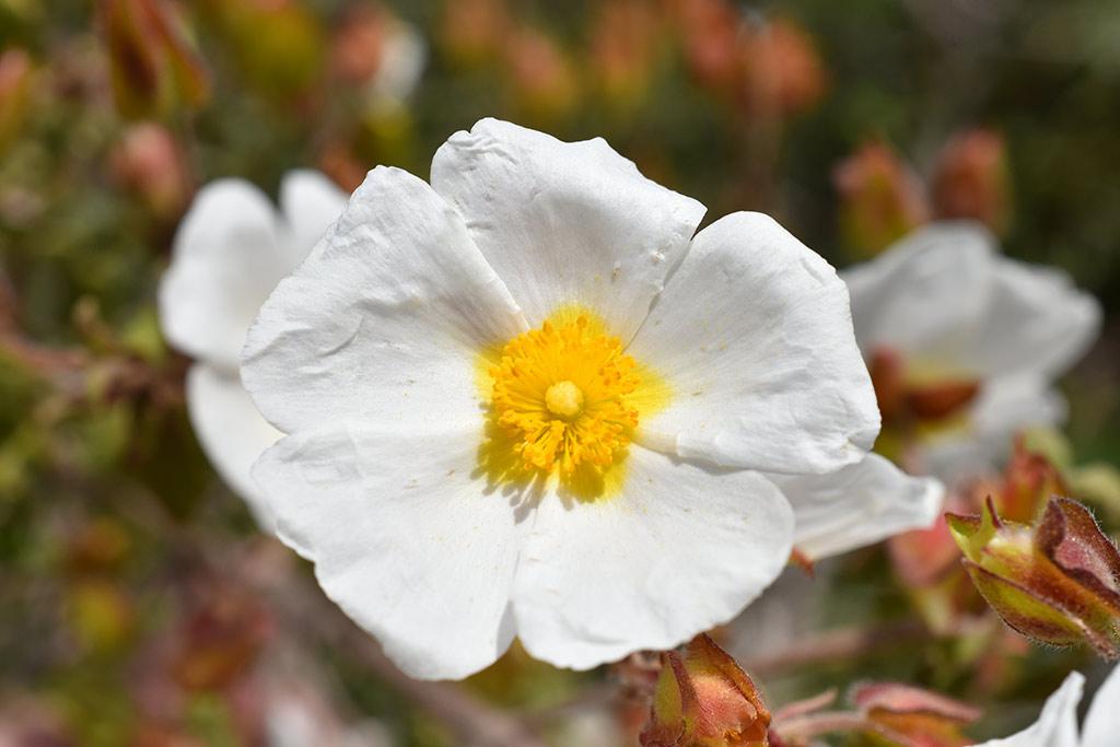 kritou-terra-spring-flowers_05