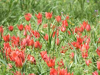 Come To Polemi Tulip Festival!