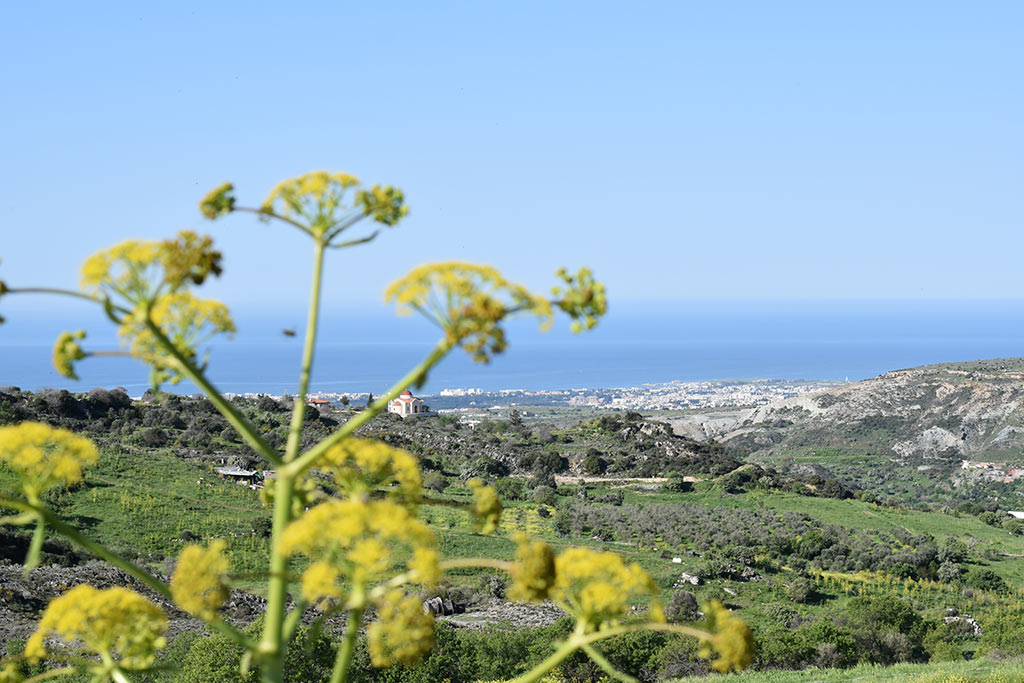 cyprus-giant-fennel_02