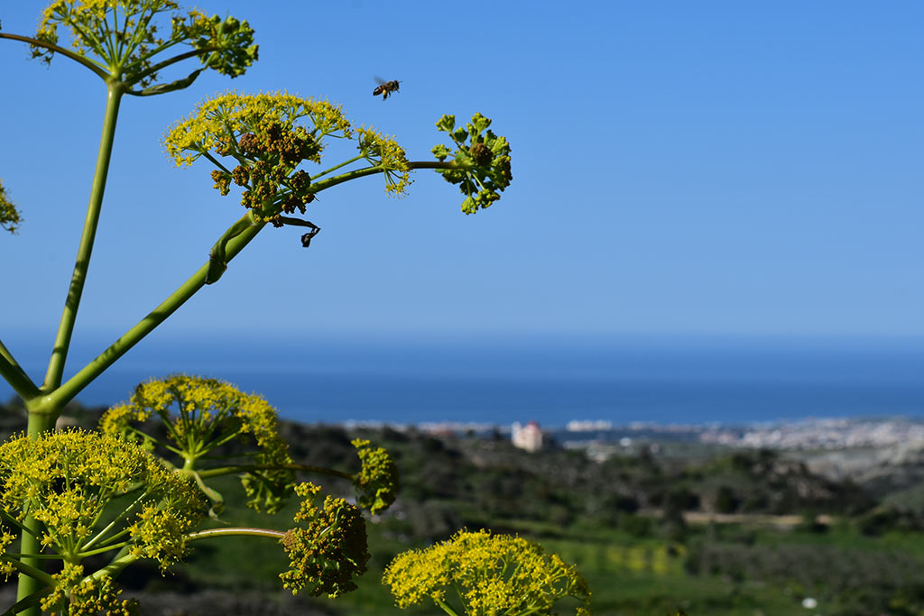 cyprus-giant-fennel_03