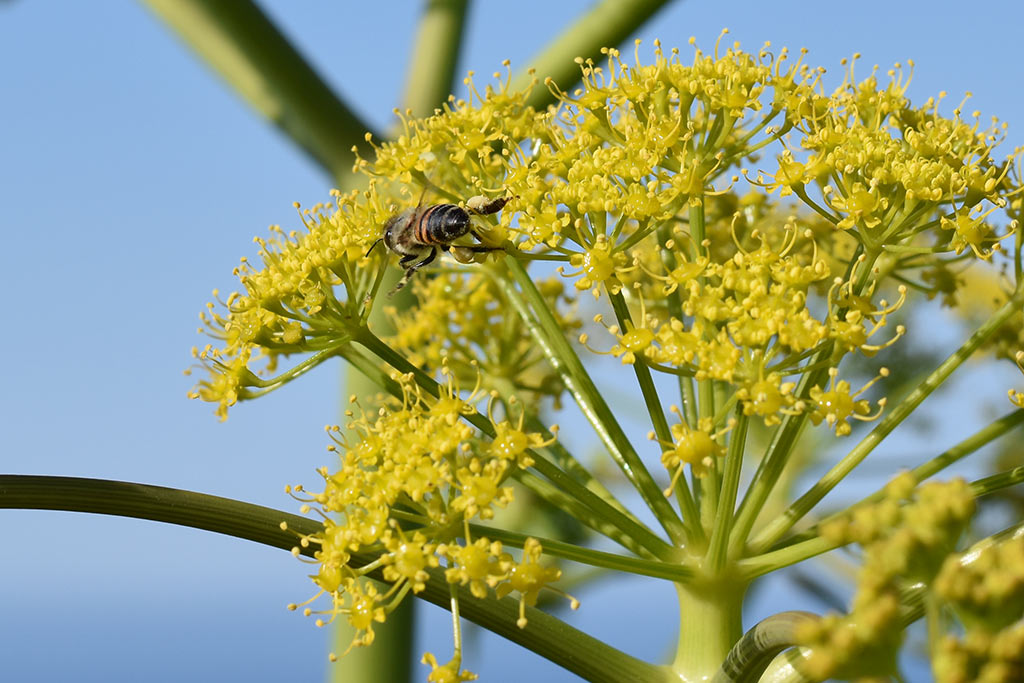 cyprus-giant-fennel_04