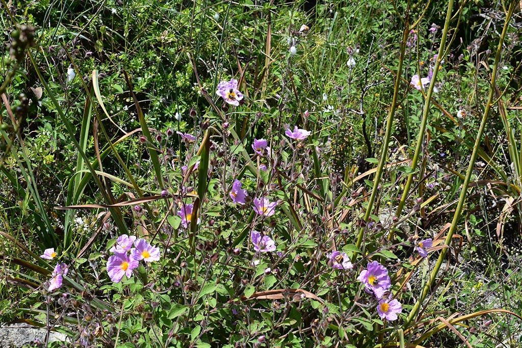 cyprus-spring-flowers_02