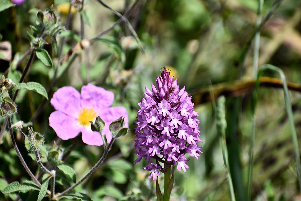 cyprus-spring-flowers_05