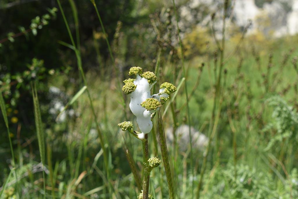 cyprus-spring-flowers_10
