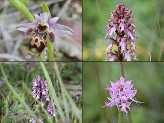 Cyprus Orchids