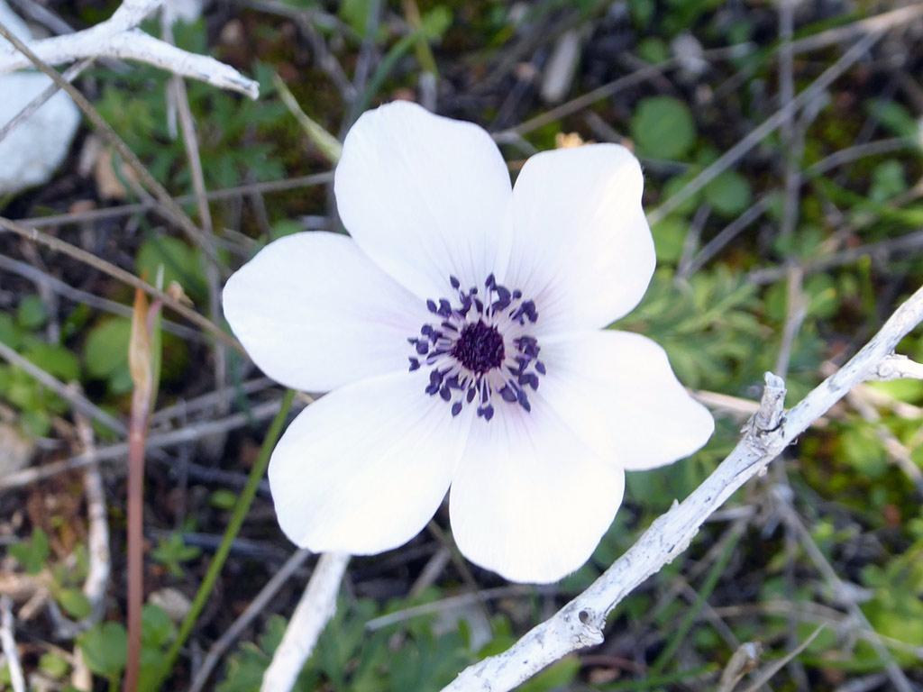 05_white_anemone