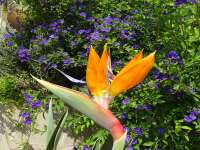 Bird Of Paradise And Potato Plant