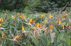 Bird Of Paradise Field 01