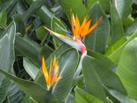 Bird Of Paradise Field 02