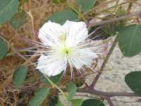 Caper Flower Closeup