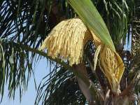 Palm Tree Flower Closeup 01