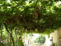 Simou Grapes