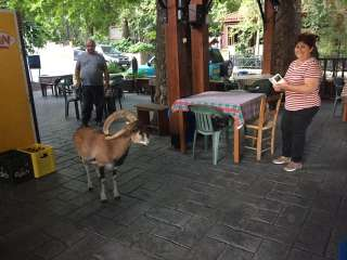 Mouflon wanders into mountain coffeeshop